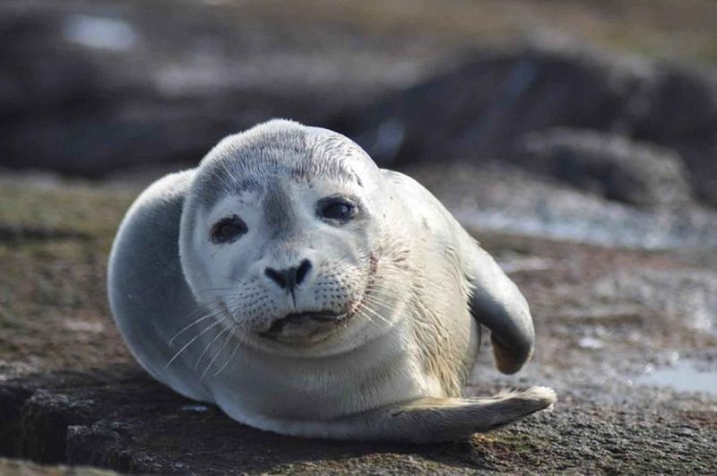 800px-Harbor_seal_mammal_phoca_vitulina